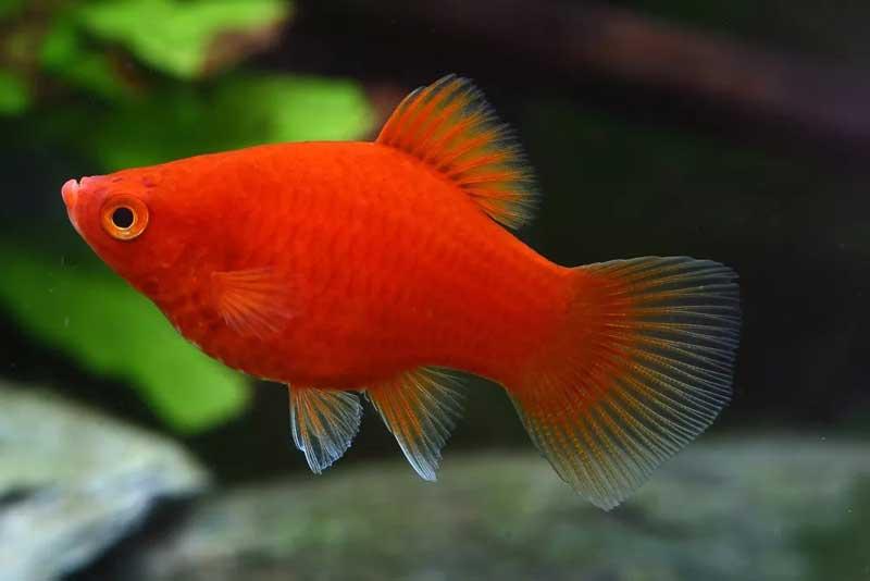 Platy-Dark-Red-Coral