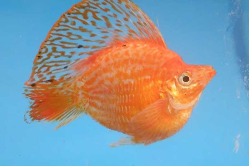 Molly-balon-velifera-orange
