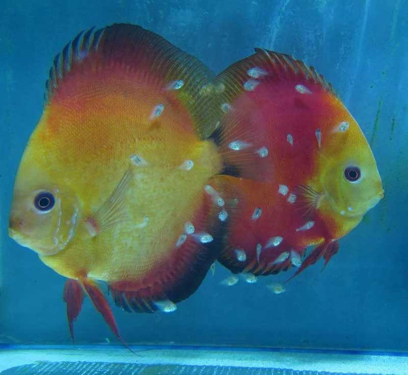 Discus-RED-MELON