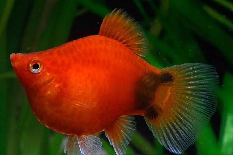 PLATY-MICKEY-MOUSE