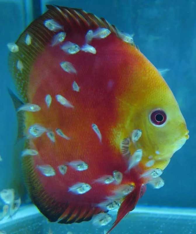 Discus-RED-COVER