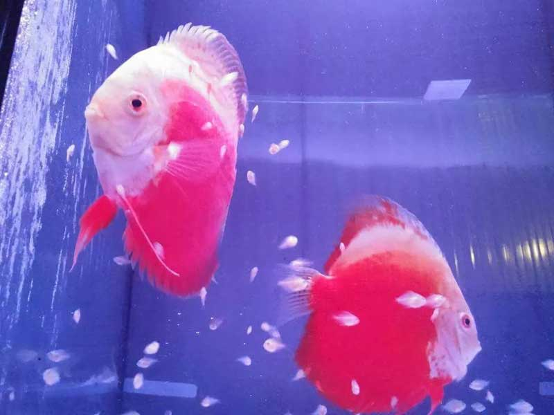 Discus-RED-AND-WHITE