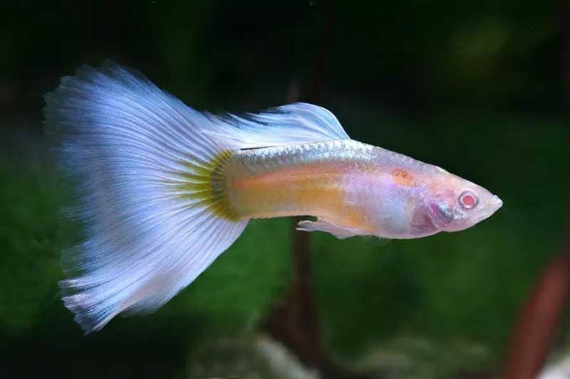 Guppy-Albino-Pastel