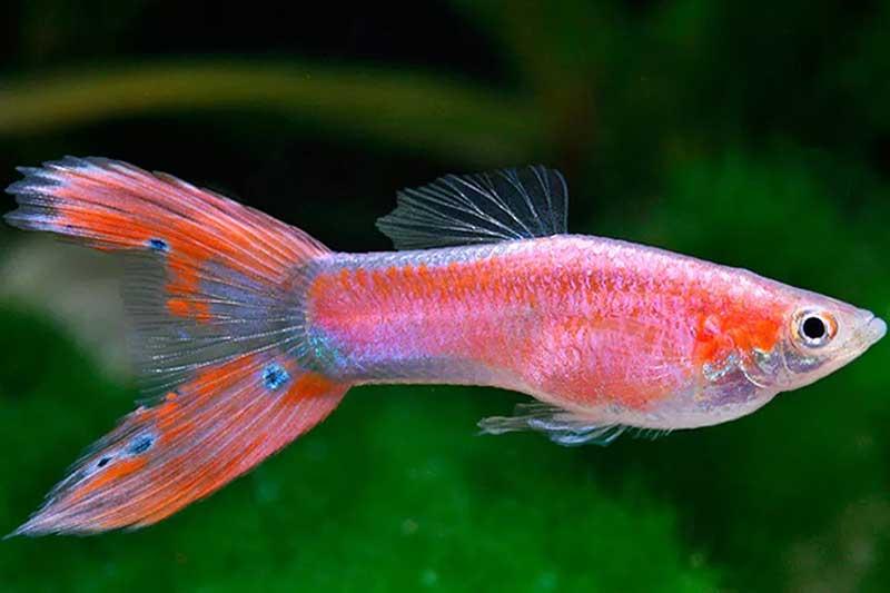 Guppy-Pink-Lyratail