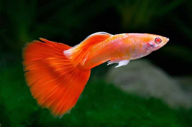 Guppy-Red-Albino