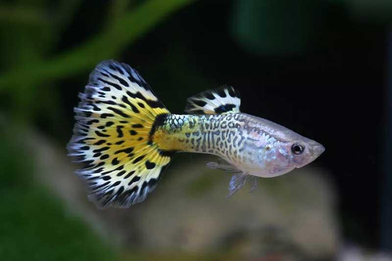 Guppy-yellow-snake-skin-2