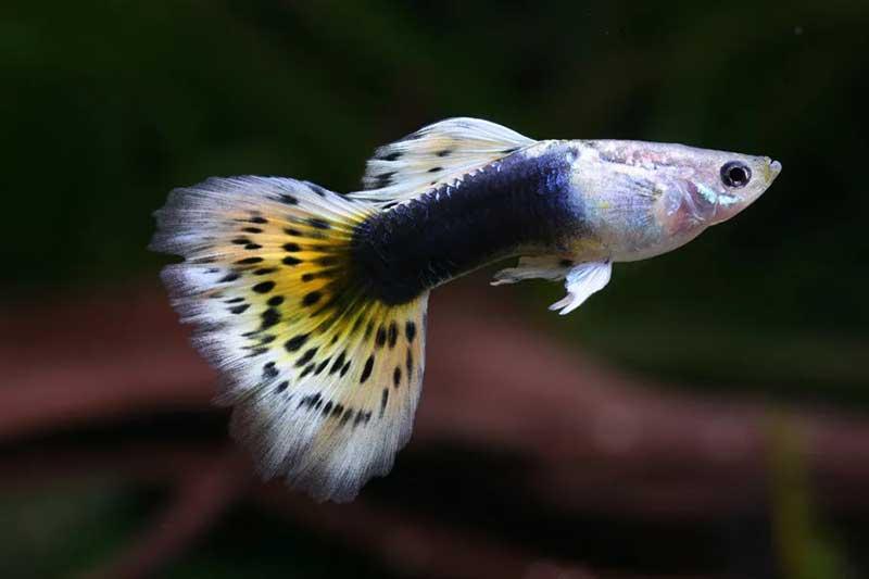 Guppy-yellow-snake-skin