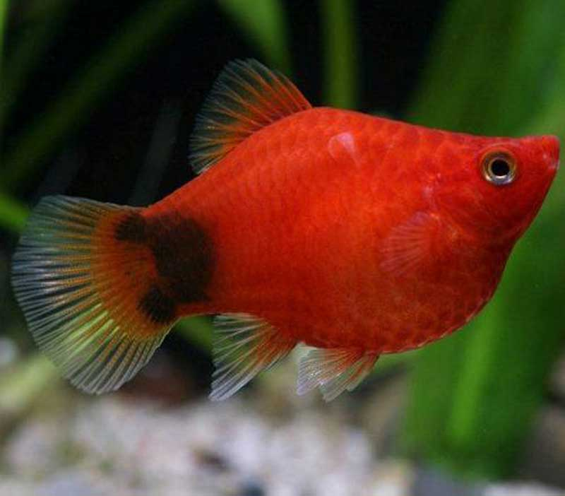 Platy Coral Dark Red Mickey Mouse